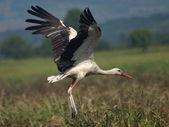 White Stork to fly, ciconia ciconia — Stock Photo