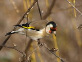 Europeiska goldfinch, carduelis carduelis — Stockfoto