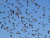 Volée d'oiseaux avec un ciel bleu — Photo