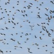 Flock of birds — Stock Photo #5421384