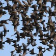 Close up flock of birds on blue sky - Foto de Stock