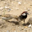 Stock Photo: Spanish Sparrow Passer hispaniolensis