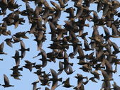Close up flock of birds on blue sky — Stock Photo