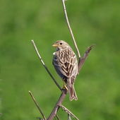 Corn Bunting miliaria calandra — Stock Photo