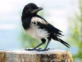 Immature European Magpie Pica pica — Stock Photo