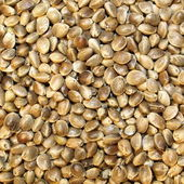 Macro Hemp seed — Stock Photo