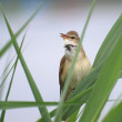 Stock Photo: Great Reed Warbler, Acrocephalus arundinaceus