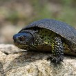 European Pond Terrapin (Emis orbicularis) — Stock Photo