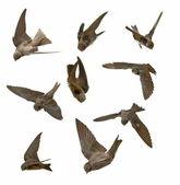 Set Sand Martin, swallows in flight isolated on white background, riparia — Stock Photo