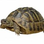Herman's Tortoise turtle isolated on white background testudo hermanni — Stock Photo