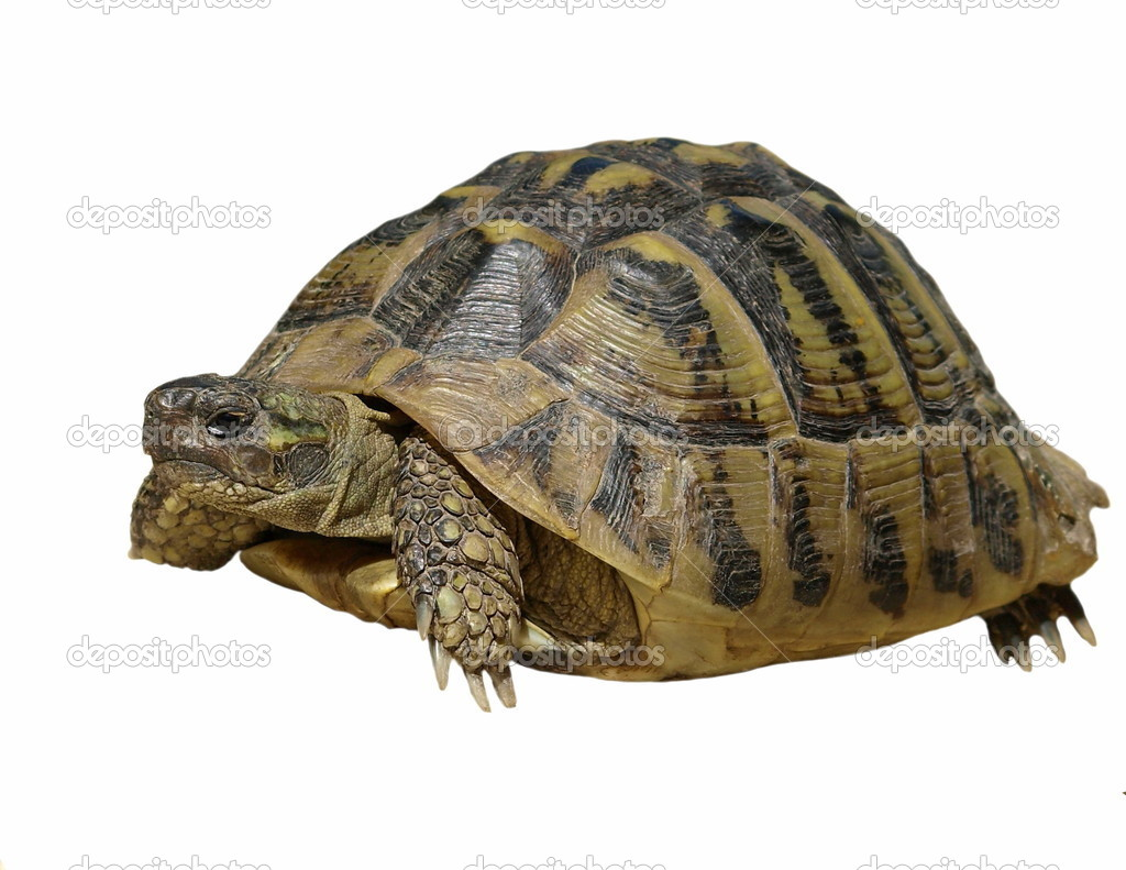 turtle white background - photo #33