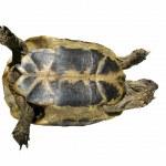 Turtle isolated on white background testudo hermanni, — Stock Photo