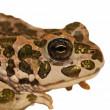 European Green Toad isolated on white, Pseudepidalea virdis (Bufo viridis), — Stock Photo