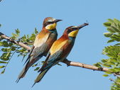 European Bee eater Merops apiaster — Stock Photo