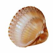 Concha do mar, isolada no fundo branco — Fotografia Stock
