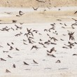 Sand Martin, swallows, riparia riparia — Stock Photo