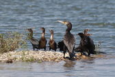 Great Cormorant and Pygmy Cormorant, Phalacrocorax pygmaeus — Stock Photo