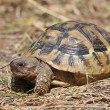 Stock Photo: Hermann's Tortoise (immature)