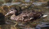 Mallard duck on lake, Anas platyrhynchos — Stock Photo