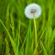 Dandelion in the grass — Stock Photo