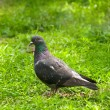 Stock Photo: Pigeon in grass