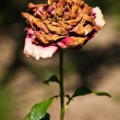 Stock Photo: Wilted rose