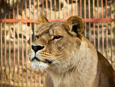 Lion against the cage — Stock Photo