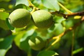 Two green nuts — Stock Photo