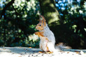 Squirrel eating sunflower seeds — Stock Photo