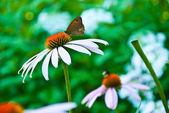 Butterfly on a coneflower — Stock Photo