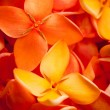Beautiful macro shot of Ixora flowers - Stock Photo