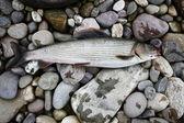 Grayling,fishing — Stock Photo