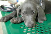 Blue Weimaraner Puppy — Stock Photo