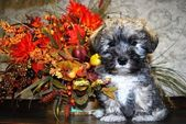 子犬シュナウザー — ストック写真