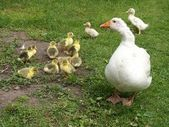 Young geese in a green house on the farm grass — Stock Photo