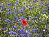 A red poppy in a field of cornflowers — Stock Photo