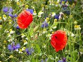 Two red flower in a field of summer flowers — Stock Photo