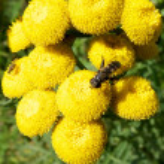 Achillea millefolium — Stock Photo #6366709