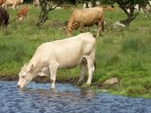 Cattle with their young in a green pasture — Stock Photo