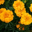 Tagetes a popular balcony beet plant which blooms all summer — Stock Photo
