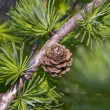 Larch Cone — Stock Photo