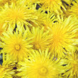 Beautiful Yellow Dandelion Flowers — Stock Photo #5753155