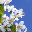 Cherry blossoms — Stock Photo #5755022