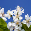 cherry blossom — Stock Photo