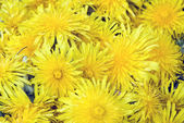 Beautiful Yellow Dandelion Flowers — Stock Photo