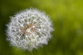 Single dandelion — Stock Photo