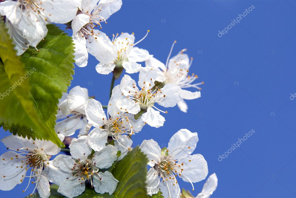 Branch of cherry blossoms on a blue spring sky — Stock Photo #5755022