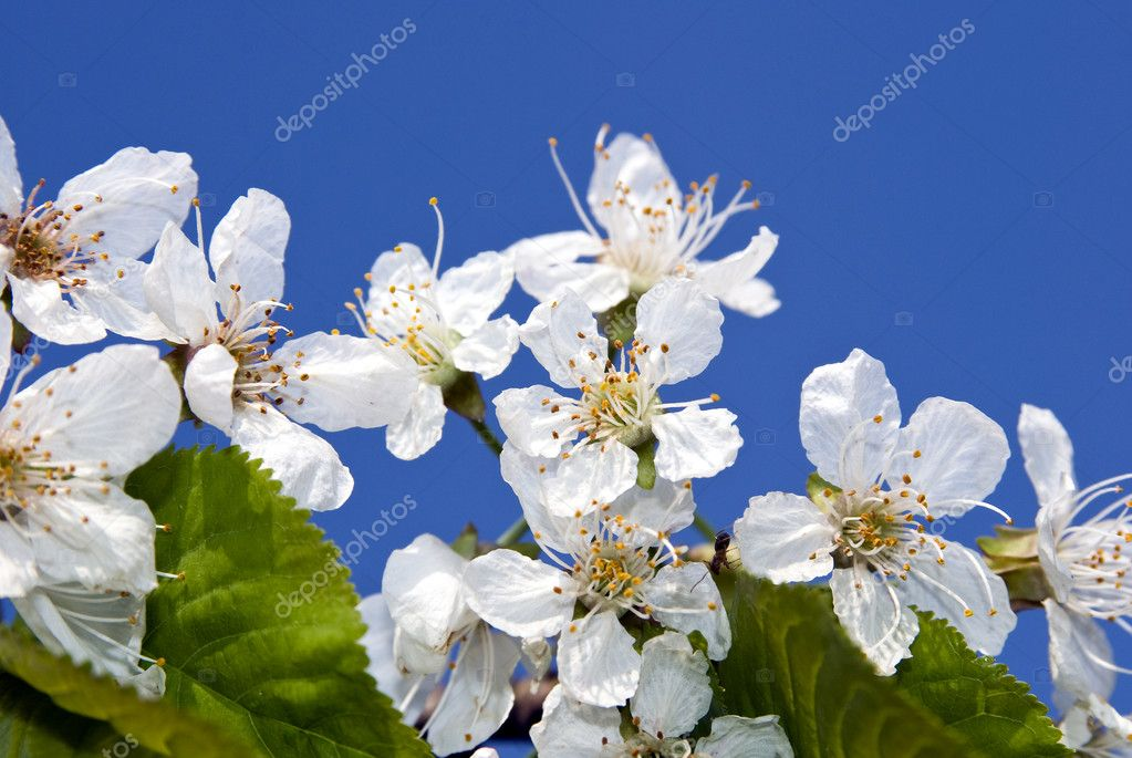 Branch of cherry blossoms on a blue spring sky — Stock Photo #5755038