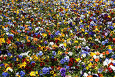 Brightly colored flowers - pansies — Stock Photo