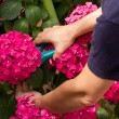 Pruning hydrangeas — Stock Photo